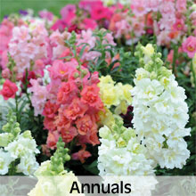 Cottage Garden Annual Flowers