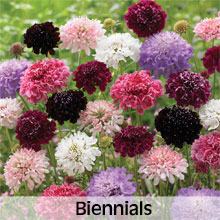 Cottage Garden Biennial Flowers