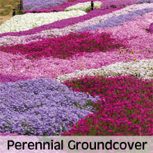 Cottage Garden Perennial Ground Cover Plants