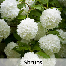 Cottage Garden Shrubs
