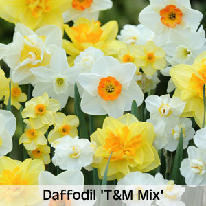 Daffodil 'T&M Mix'