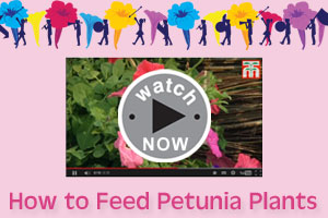 Watch our 'How to Feed Petunias' video