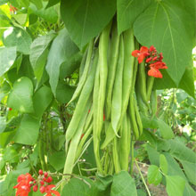 Runner Bean Firestorm