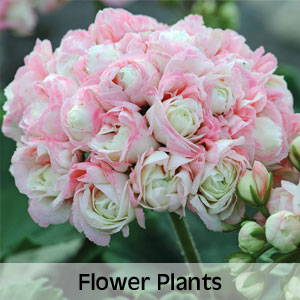Up to 50% OFF Flower Plants