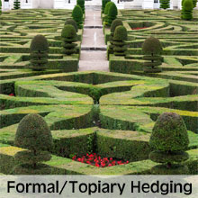 Formal Hedge Plants or Plants for Topiary
