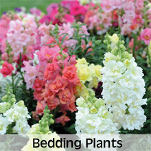 Choose from our extensive range of Bedding Plants