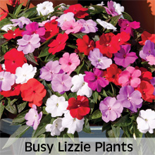 Busy Lizzie Plants