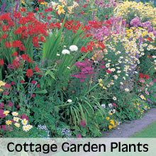 Choose from our extensive range of Cottage Garden Plants