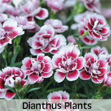 Choose from our extensive range of Dianthus Plants