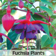 Choose from our extensive range of Fuchsia Plants