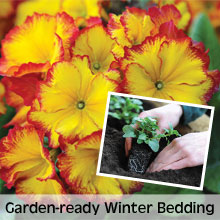 Choose from our extensive range of Garden-ready Bedding Plants