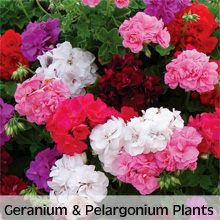 Choose from our extensive range of Geranium and Pelargonium Plants