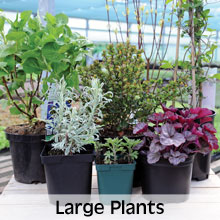 Choose from our extensive range of Large Plants