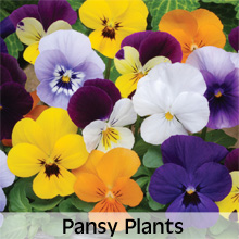 Choose from our extensive range of Pansy Plants