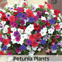 Choose from our extensive range of Petunia Plants