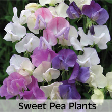 Choose from our extensive range of Sweet Pea Plants