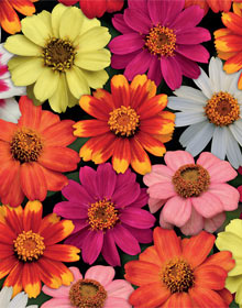 zinnia zahara single flowered mixed