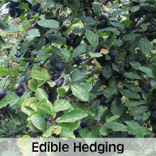 Edible hedging plants