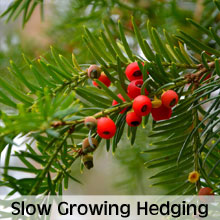 Slow growing hedging plants