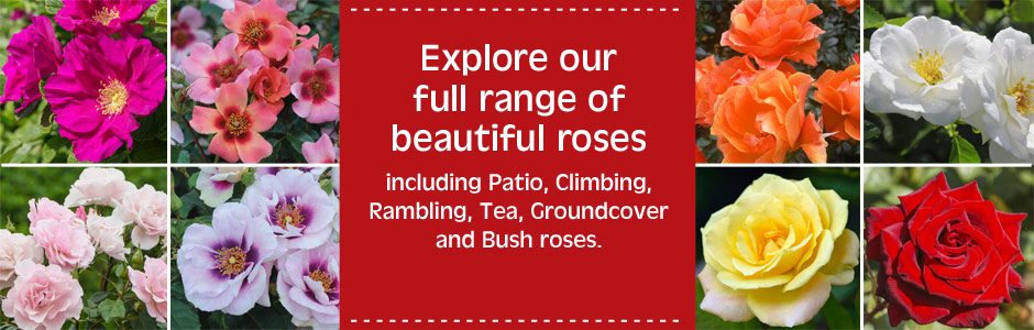 View our range of roses