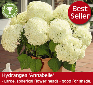 Hydrangea 'Annabelle' large, spherical flower heads, ideal for growing in shade.