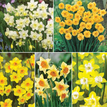 Narcissus 'Jonquilla Collection'