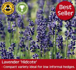 Lavender 'Hidcote' a popular English Lavender ideal for low hedges and a magnet for bees