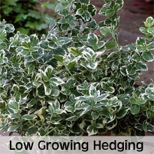 Low Growing Hedge Plants