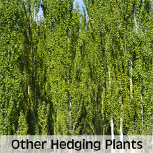 All other hedging plants