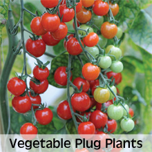 Vegetable Plug Plants