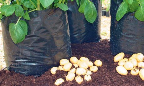 How to grow potatoes in containers