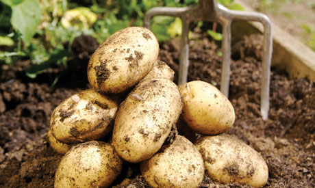 How to grow potatoes in the ground.