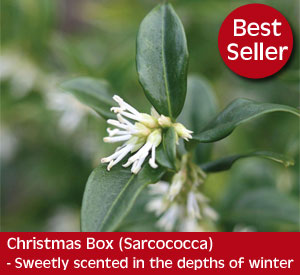 Sarcocca or Christmas Box is a gorgeous evergreen shrub with sweetly fragranced flowers in the depths of winter
