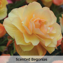 Scented Begonias
