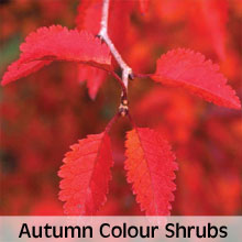 Shrubs for autumn colour