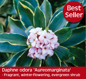 Daphne Aureomarginata - a winter flowering, evergreen shrub with a gorgeous fragrance