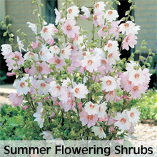 Summer Flowering Shrubs