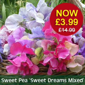 Sweet Pea 'Sweet Dreams Mixed' NOW £3.99