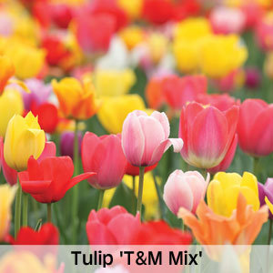Tulip 'T&M Mix'