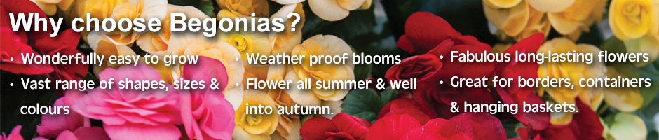 Choose begonias for their ease of growing, vast range of colours, shapes and sizes, long-lasting fabulous blooms. Grow begonias in hanging baskets, patio containers or garden borders. Enjoy begonia flowers throughout the summer and well into autumn.