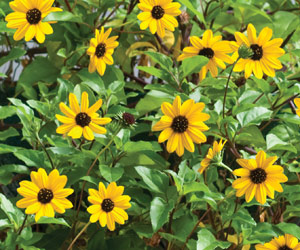 trailing sunflower inca gold