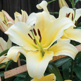 Lily 'Big Brother' - Part of the Alan Titchmarsh Collection