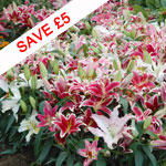 Lily 'Colour Carpet® Mixture'
