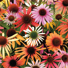 Buy Echinacea Magic Box