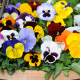 Best spring colour for a container - Pansy 'Matrix Mixed'