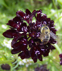 Scabious 'Ace of Spades'