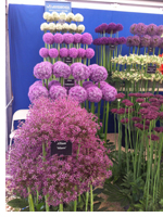Ultra vertical alliums