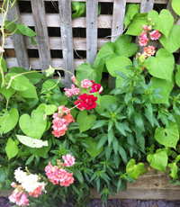 Antirrhinum 'Madame Butterfly' and Ipomoea'