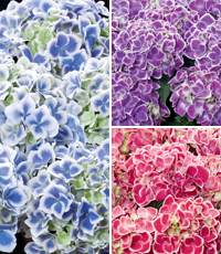 Hydrangeas 'Bavaria' (left) and 'Tivoli' (top and bottom right)