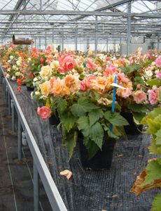Begonias in the glasshouse